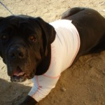 Bubba, DogLeggs prototype vest