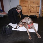 Canine Patient receiving therapeutic laser tx effective for pain, tissue healing.