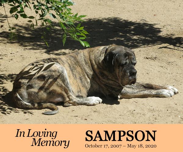 In Loving Memory - Sampson